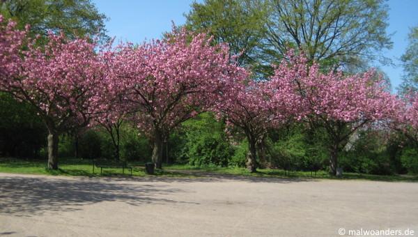Blühende Bäume bei der Kleingarten-Kolonie Sülz