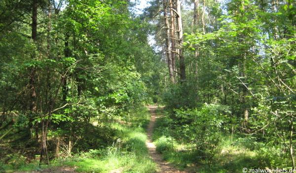 Pfad durch den Kiefernmischwald